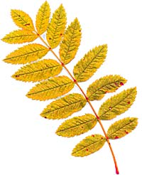 VT foliage leaf -Mountain Ash