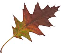 VT foliage leaf- northern Red Oak