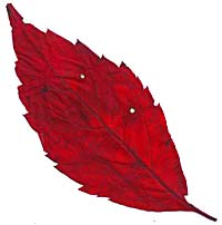 VT foliage leaf - Pincherry