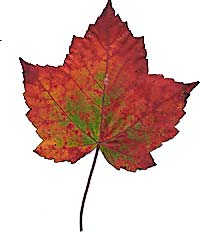VT foliage leaf - Sugarmaple